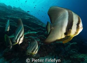 batfishes by Pieter Firlefyn
