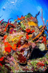 Lionfish on the tropical and colorful reef in the Caribbe... by Robert Smits