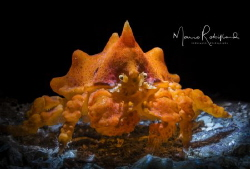 Juvenile Puget Sound King Crab, so tiny and so beautiful by Mario Robillard