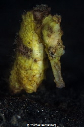 yellow seahorse by Thomas Bannenberg
