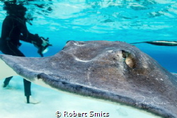 Stingrays are a group of rays, which are cartilaginous fi... by Robert Smits