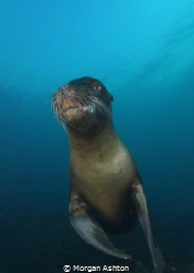 Galapagos Sea Lion by Morgan Ashton