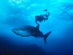 Juvenile Whale Shark, Cocos Island (Nikon F4, 24mm/2.0, A... by Andrew Dawson