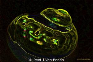 Fluorescent image The Giant Turban by Peet J Van Eeden