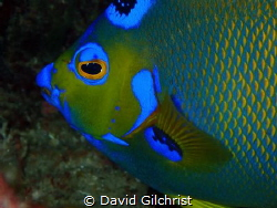 The Face of an Angel, Roatan, Honduras. This specimen was... by David Gilchrist