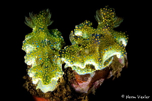 Nudi Love in Ambon by Norm Vexler