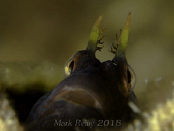 Blenny on lena wreck by Mark Reilly