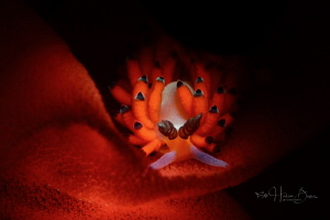 Favourinus feeding with eggs.  Taken by D800E &105mm+SMC... by Hakan Basar