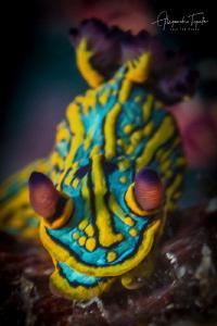 Colorfull nudibranch, Islas Marietas Mexico by Alejandro Topete