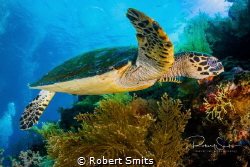 Green turtle hanging out and eating corals on the USAT Li... by Robert Smits