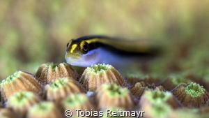 Yellownose goby, Red Beryl, Bonaire by Tobias Reitmayr