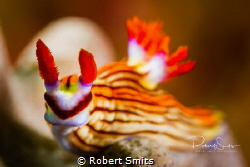 Superhero Nudibranch in Mirbat, Oman, checking out the ca... by Robert Smits