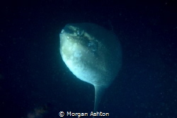 The Elusive Mola Mola by Morgan Ashton