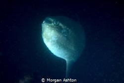 The Elusive Mola Mola by Morgan Ashton