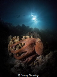 Octopus posing on a night dive under the jetty, Baa Atoll by Joerg Blessing