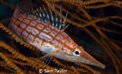 My favourite 'small fish' the Longnosed hawkfish by Sam Taylor