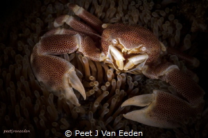 Eye to Eye with a Porcelain Crab by Peet J Van Eeden