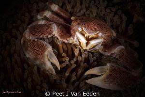 Eye to Eye with a Porcelain Crab by Peet J Van Eeden