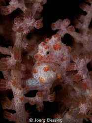 Barbiganti seahorse. This is the first one I ever saw and... by Joerg Blessing