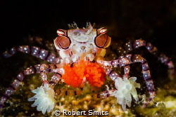 Did you know that these are called boxer crabs, boxing cr... by Robert Smits