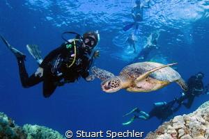 Beautiful Hawksbill turtle in flight entertaining divers ... by Stuart Spechler