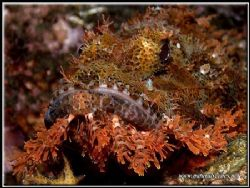 If this Scorpion fish let its beard grow any longer he wo... by Yves Antoniazzo