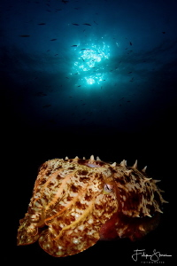 Cuttlefisch, Banda sea, Indonesia, double exposure. by Filip Staes
