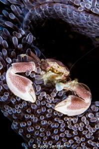 Neopetrolisthes maculatus. Porcelain crab by Rudy Janssen