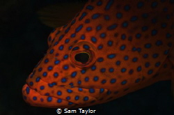 Portrait of a Coral Cod Nikon D-70, 60mm lens, dual YS 12... by Sam Taylor