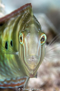 Green Razorfish at Something Special, Bonaire by Tobias Reitmayr
