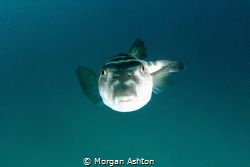 Bullseye Puffer Says Hello by Morgan Ashton
