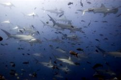 A very lucky dive off Darwin, Galapagos. I wonder what wa... by Chris Wildblood