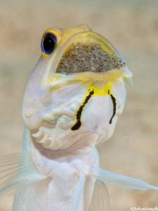 Opistognathus aurifrons Yellowhead Jawfish  by John Roach