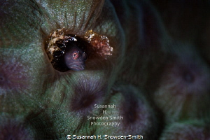 """The Color Purple"" - A blenny peers out of its textured c... by Susannah H. Snowden-Smith"