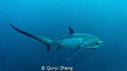 Thresher Shark,at Malapasqua Philippines. by Qunyi Zhang