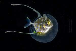 Juvenile fish inside jellyfish - Blackwater by Wayne Jones