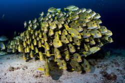 Sweetlips at Cape Kri by Pietro Cremone
