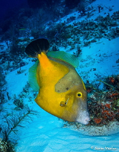 A Whitespotted Filefish in the Orange Phase photographed ... by Norm Vexler