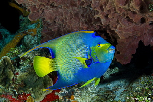 A beautiful Queen Angelfish in Cozumel. by Norm Vexler
