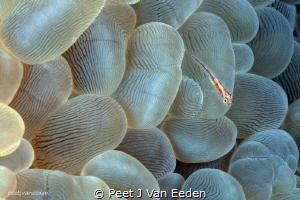 Bubble coral goby by Peet J Van Eeden