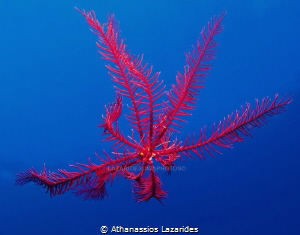 Feather star by Athanassios Lazarides