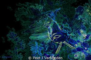 Glowing Edges of an ordinary Klipvis in False Bay, Cape P... by Peet J Van Eeden
