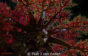 Sea cucumber  False Bay, Cape Peninsula, South Africa by Peet J Van Eeden