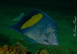 Blue AngelFish by Tamer Fouad