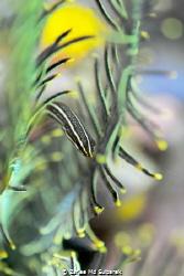 Doubleline clingfish by Zaflee Md Suibarek
