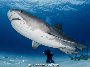 This very large female tiger shark is a resident of Tiger... by Debbie Wallace