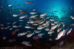 Surgeonfish school by Pietro Cremone