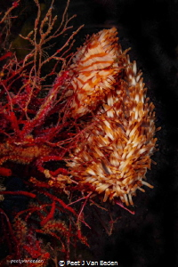 The rare walking sea-anemone. False Bay, Cape Peninsula, ... by Peet J Van Eeden