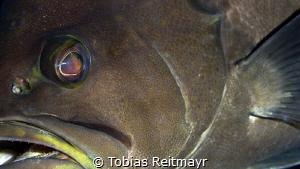 Yellowmouth grouper, Red Beryl, Bonaire by Tobias Reitmayr