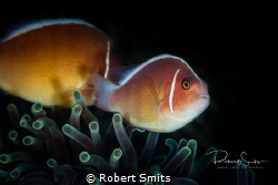 Did you know that there are thirty species of clownfish r... by Robert Smits